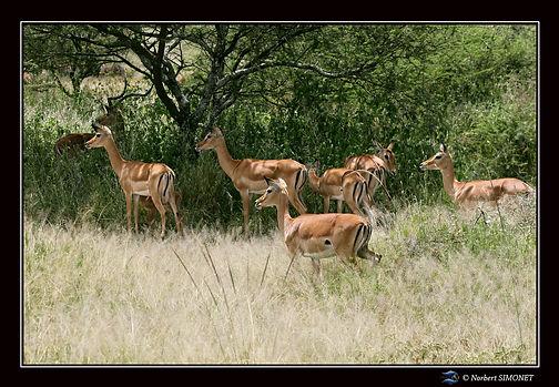 Gazelles de grant harem - Cadre Paysage