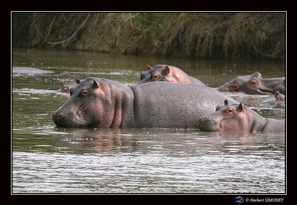 Hippopotames groupés - Cadre Paysage - S