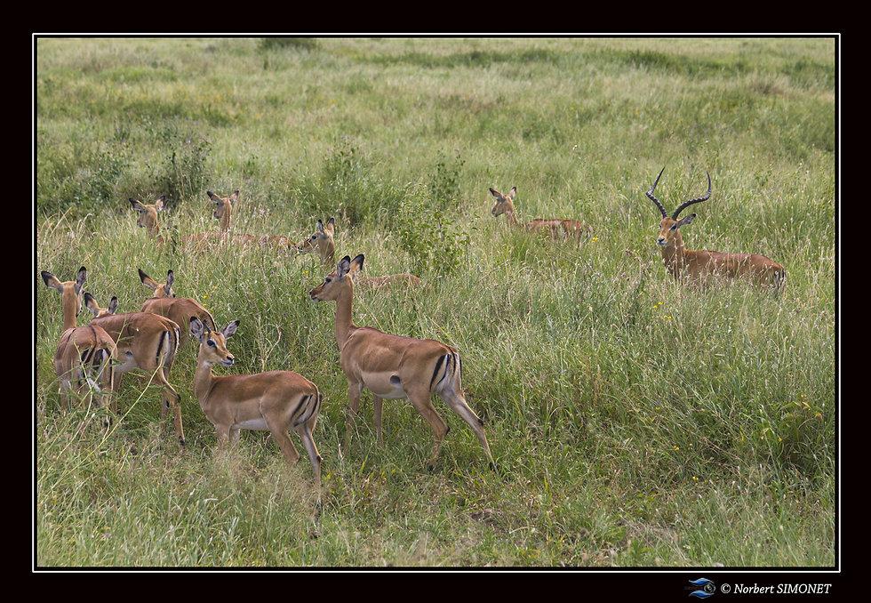 Gazelles  harem GP - Cadre Paysage  - Se