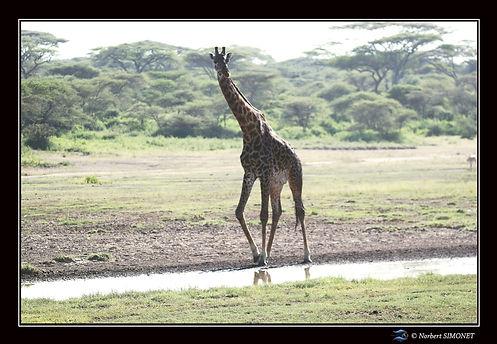 Girafe marche au point d'eau - Cadre Pay