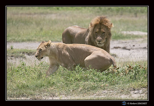 Lionne_se_sépare_du_lion_bis_-_Cadre_Pa