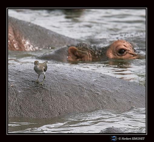 Hippopotame et gravelot pâtre - Cadre Ca