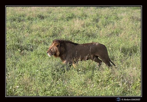Lion profil 1- Cadre Paysage - Ndutu 220