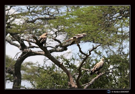 Aigles ravisseurs dans un arbre - Cadre
