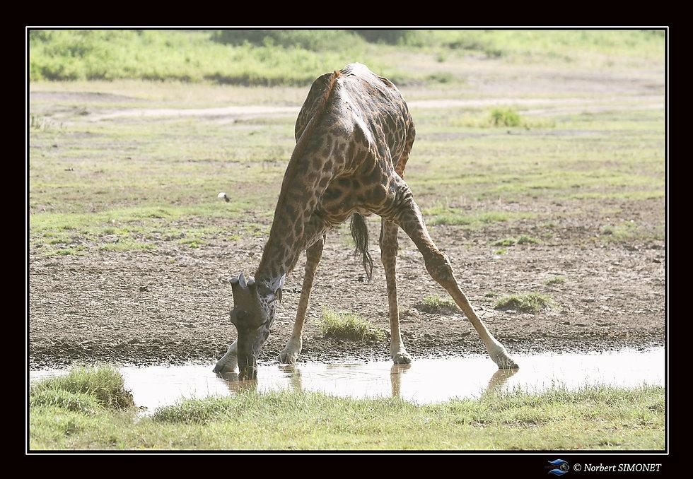 Girafe boit - Cadre Paysage - Plaines de