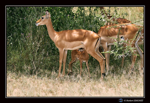 Gazelle alaite - Cadre Paysage - Serenge