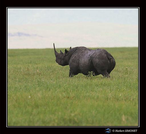 Rhinocéros_part_-_Cadre_Carré_-_Cratè