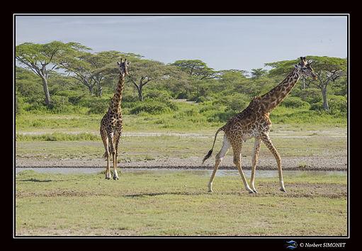 Girafes marchent au point d'eau bis - Ca