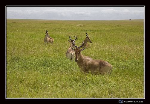 Bubale - Cadre Paysage - Serengeti 23022