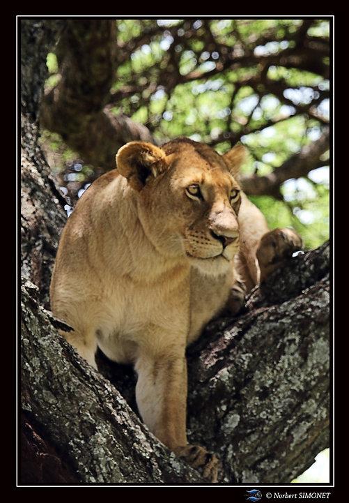 Lionne_entière_face_dans_un_arbre_-_Cad