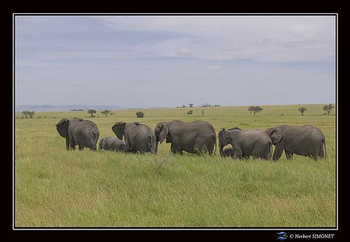 Eléphants_Serengeti_-_Cadre_Paysage_230