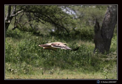 Aigle ravisseur plane bis - Cadre Paysag