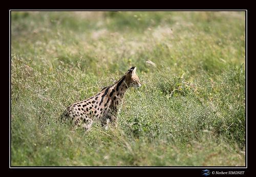 Serval_de_profil_tête_levée_-_Cadre_Pa