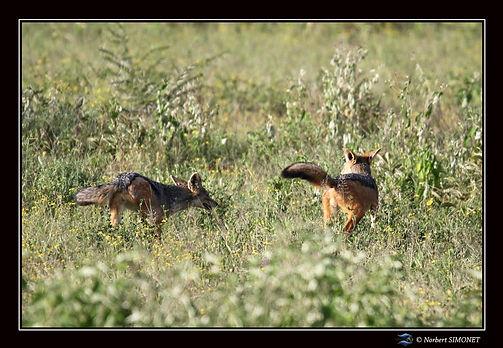 Chacals courent dans la savane - Cadre P