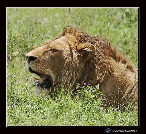 Lion_tête_profil_GP_dans_le_cratère_du