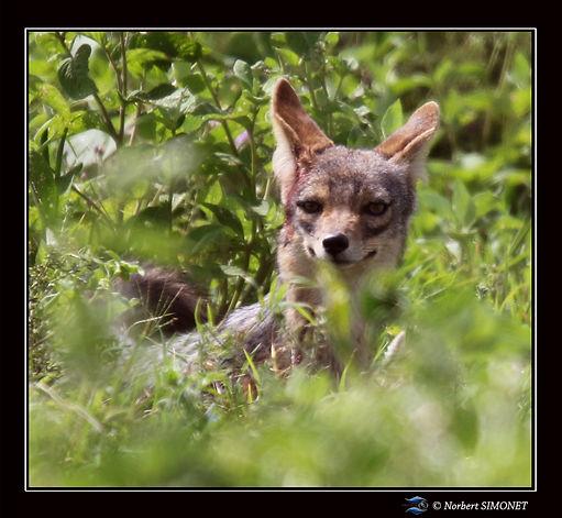 Chacal_dans_les_herbes_observe_-_Cadre_C