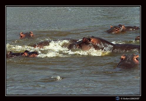 Hippopotames Profils - Cadre Paysage - S