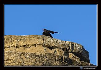 Oiseau_noir_à_bec_rouge_bis.jpg