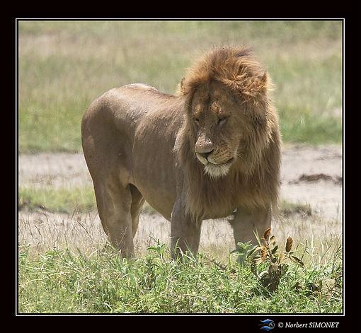 Lion_après_le_départ_de_la_lionne_-_Ca