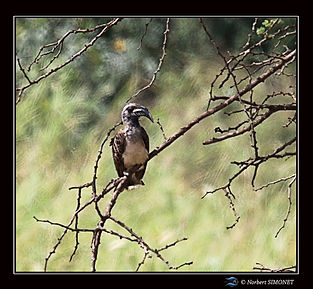 Calao à bec noir - Cadre Carré - Serenge