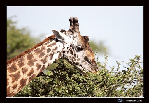 Girafe GP btoute un acacia - Cadre Paysa