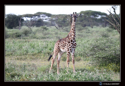 Girafon face - Cadre Paysage - Plaines d