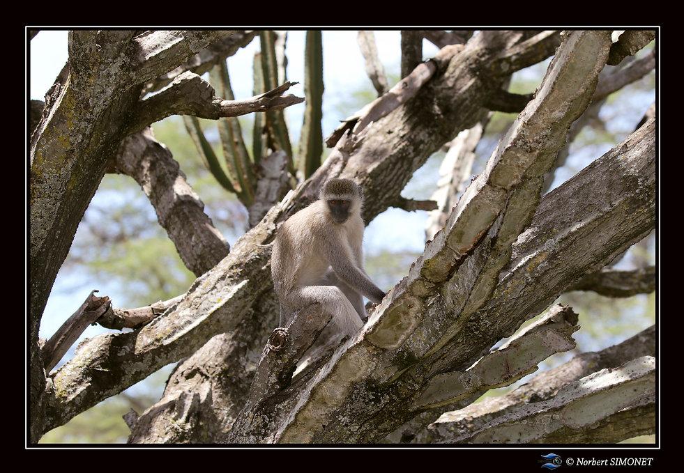 Vervet assis dans un arbre - Cadre Paysa