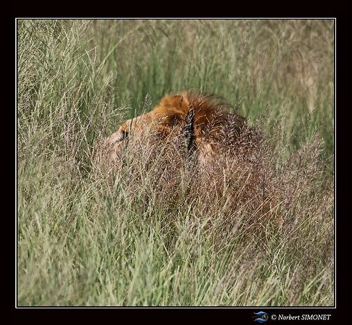 Lion_dans_les_herbes_profil_-_Cadre_Carr
