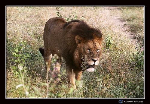 Lion marche face 0 - Cadre Paysage - Ndu