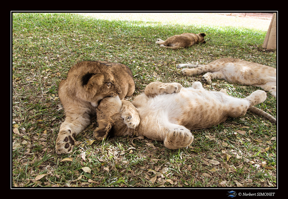 Lionceaux jouent 2 - Cadre Paysage - Ran