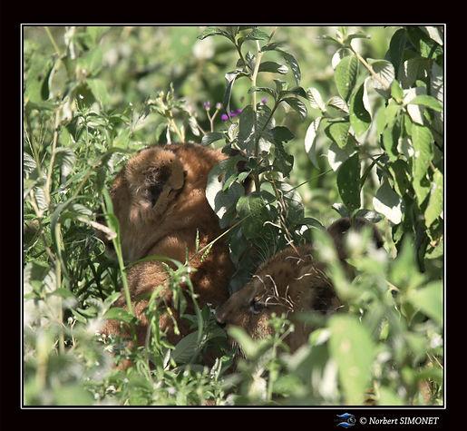 Lionceaux_dans_les_herbes_bis_-_Cadre_Ca