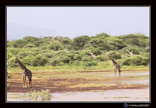 Girafes au bord du lac - Cadre Paysage -