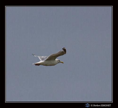 Goêland en vol - Cadre Carré - Plouguerneau 18082021.jpg