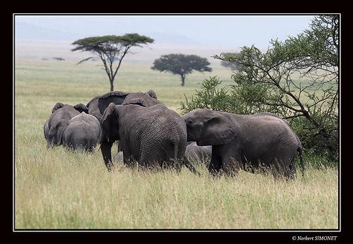 Eléphants_en_déplacement_-_Cadre_Paysa