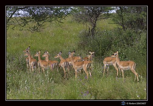 Gazelles de Grant sous les accacias - Ca