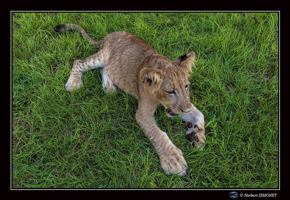 Lionceau au repos - Cadre Paysage - Ranc
