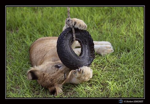 Lionceau joue avec un pneu - Cadre Paysa
