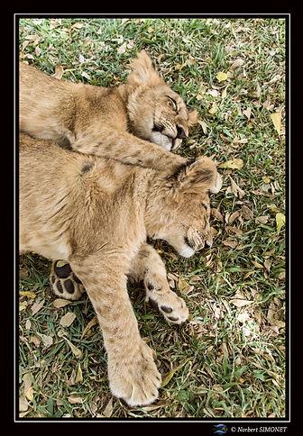Lionceaux sieste 2 - Cadre Portrait - Ra