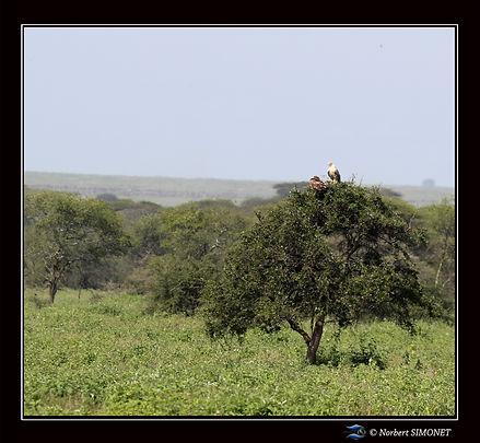 Aigles_dans_un_arbre_-_Cadre_Carré_-_Pl