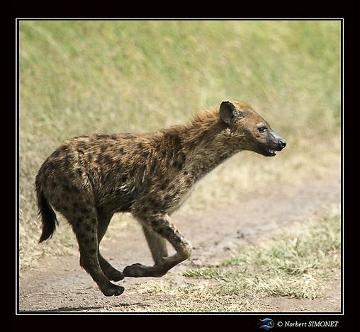 Hyène_court_-_Cadre_Carré_-_Serengeti_