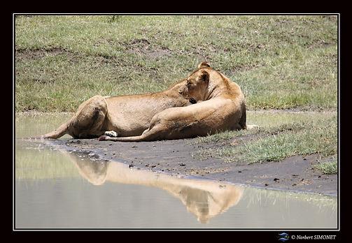 Lionnes_couchées_dans_le_cratère_du_Ng