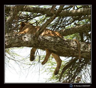 Lionne_couchée_dans_un_arbre_de_dos_-_C