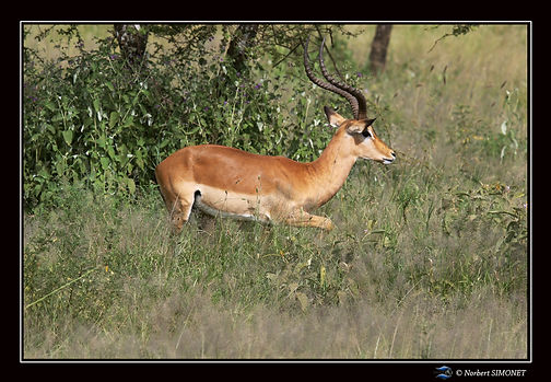 Impala de profil - Cadre Paysage - Seren