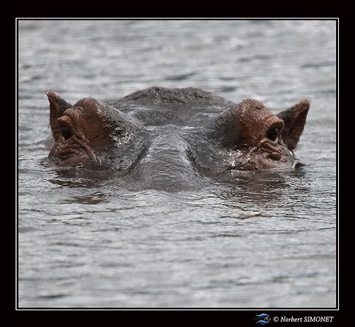 Hippopotame_tête_GP_face_-_Cadre_Carré