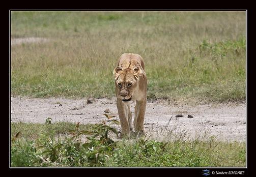 Lionne_marche_vers_le_lion_dans_le_cratÃ