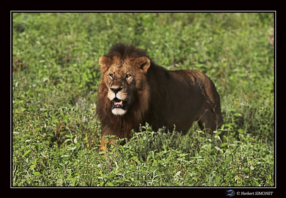 Lion face gauche - Cadre Paysage - Ndutu