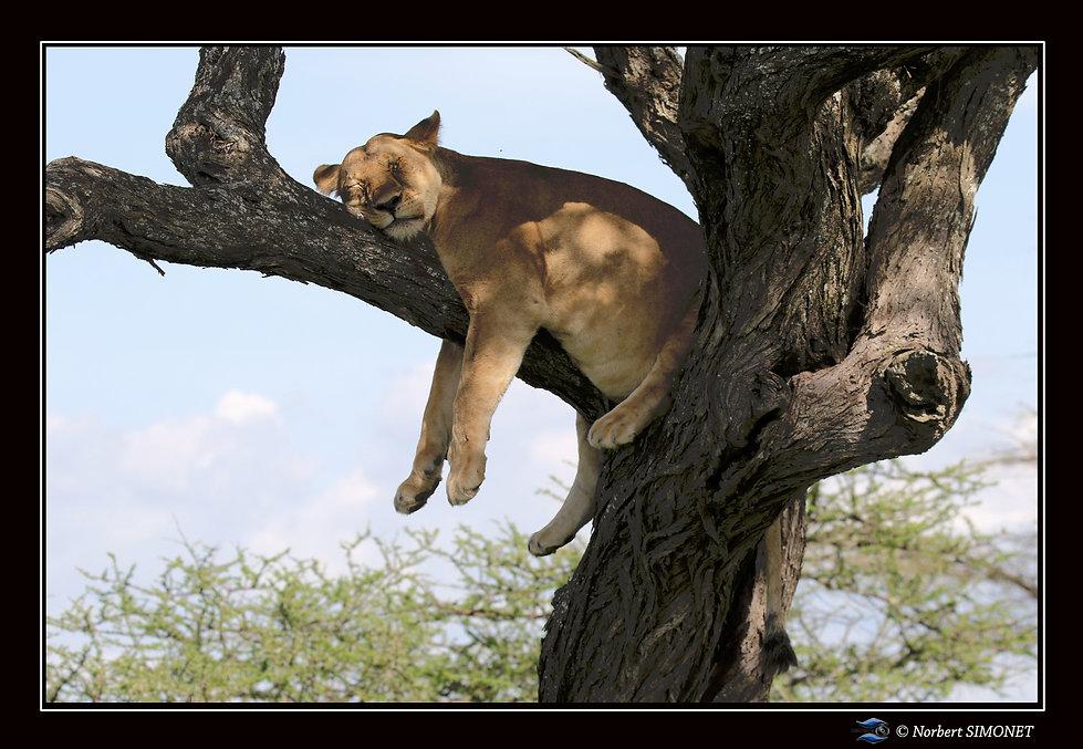 Lionne dort dans un arbre - Cadre Paysag