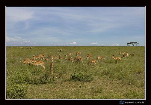 Gazelles de Grant dans le paysage - Cadr