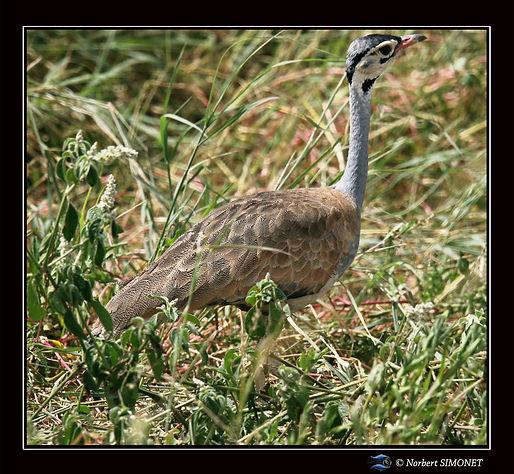 Outarde du Sénégal dans les herbes GP -