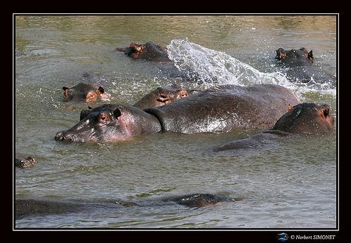 Hippopotames flottent 4 - Cadre Paysage
